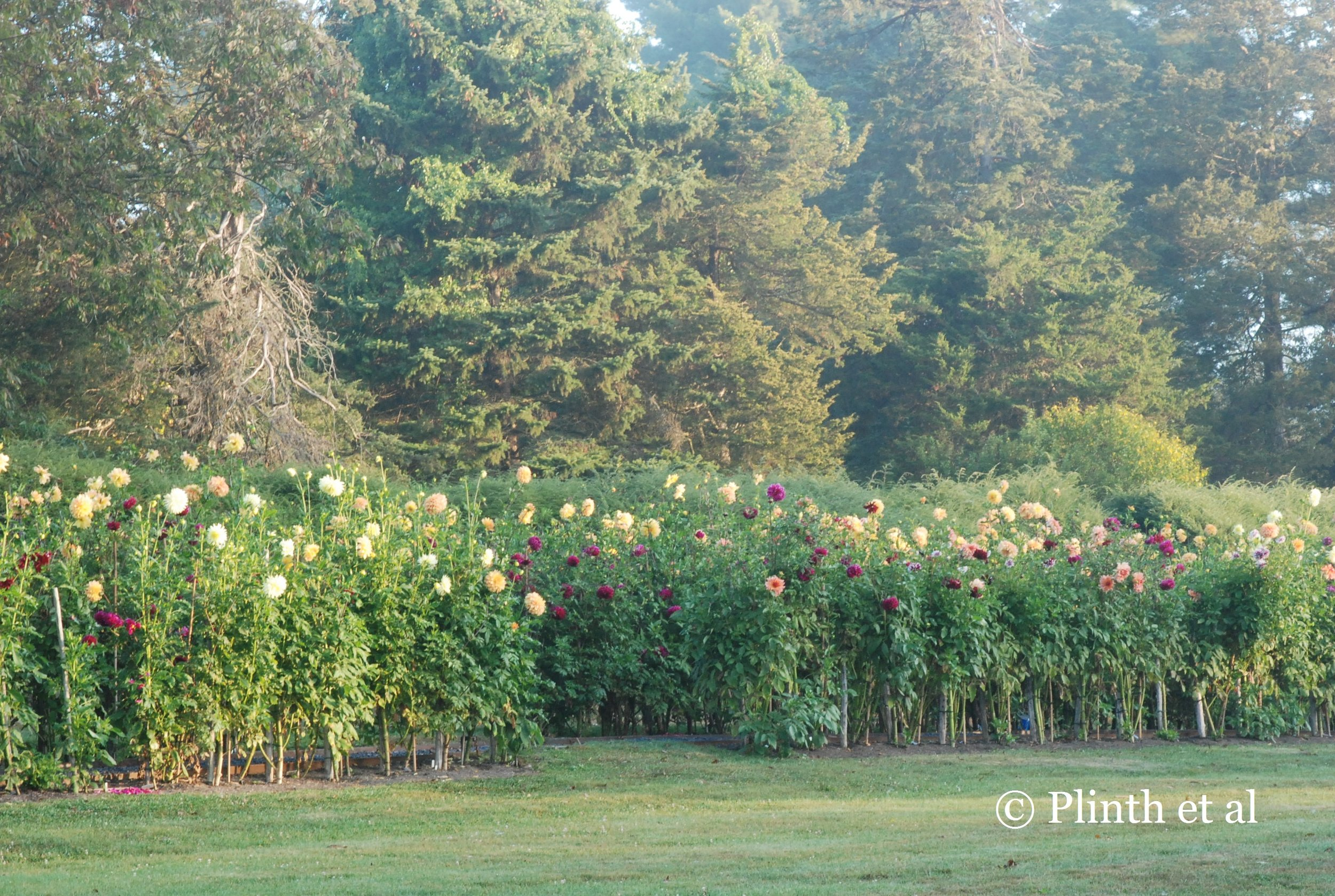 Dahlias in the Picking Garden