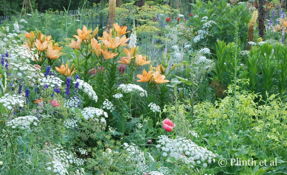 The foxtail lilies (Eremurus 'Spring Valley Hybrids') and soft orange 'Swansea' lilies rise above Nicotiana 'Lime Green', white Ammi majus,  Anthemum graveolens, and  Consolida ajacis in this delightful relaxed planting (Summer 2013).