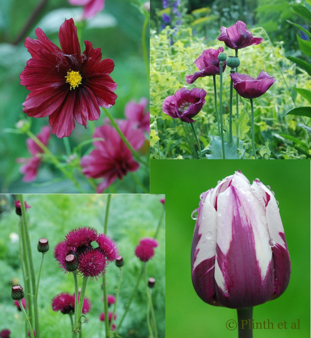 Dark plummy purples to wine reds are one of Emma's favorite colors in the Cut Garden Flower at Chanticleer.  Left to right clockwise: Cosmos bipinnatus 'Rubenza'; Papaver somniferum 'Lauren's Grape'; Tulipa 'Rem's Favourite'; Cirsium rivulare 'Atropurpureum'