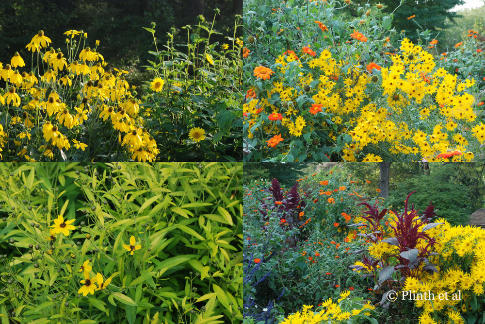Emma values composites for their summer and autumn flowers, which  Left to right: Rudbeckia 'Herbstonne' and Helianthus x multiflorus 'Capenoch Star'; Tithonia rotundifolia and Helianthus angustifolius 'Gold Lace'; Coreopsis tripteris 'Lightning Flash'; Helianthus maximilianii 'Santa Fe' and the red Amaranthus hypochrondriacus and Tithonia rotundifolia.