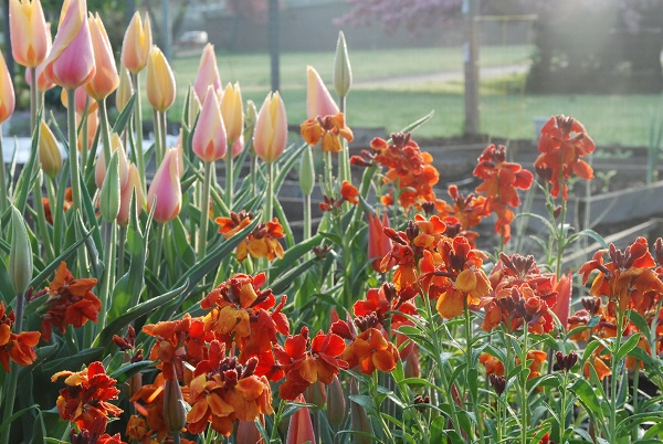 Erysimum  'Fire King' with  Tulipa  'Blushing Lady' (left) and  Tulipa  'Ballerina' (lower left and center) in the community garden plot.
