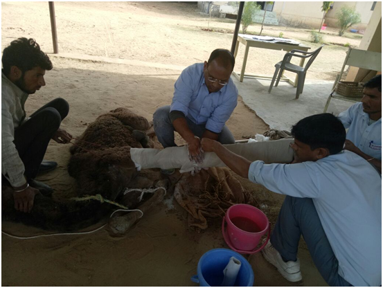 Baby camel rescue Jan 2018  2.png
