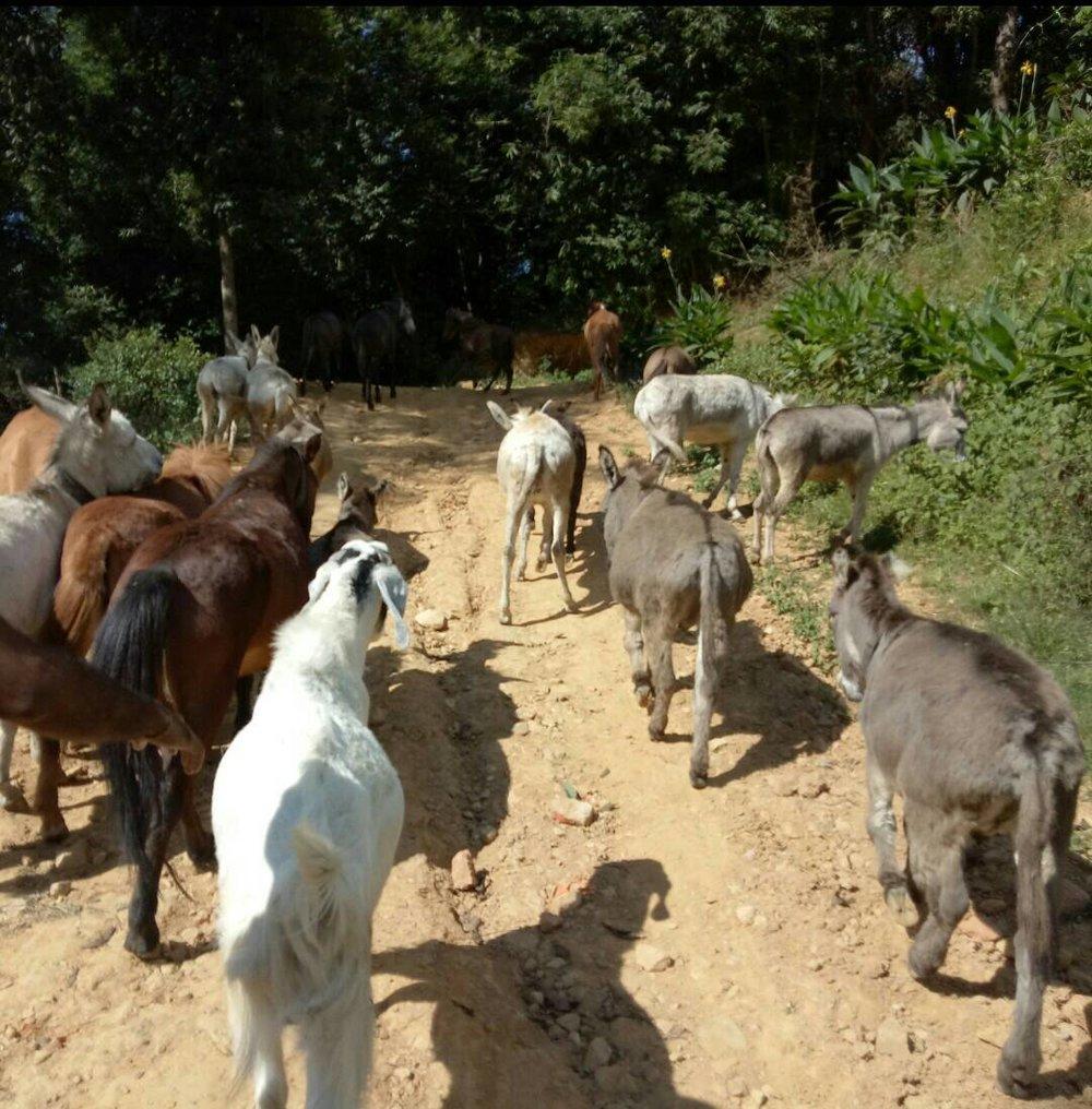 Donkeys walking Jan 2018.jpg