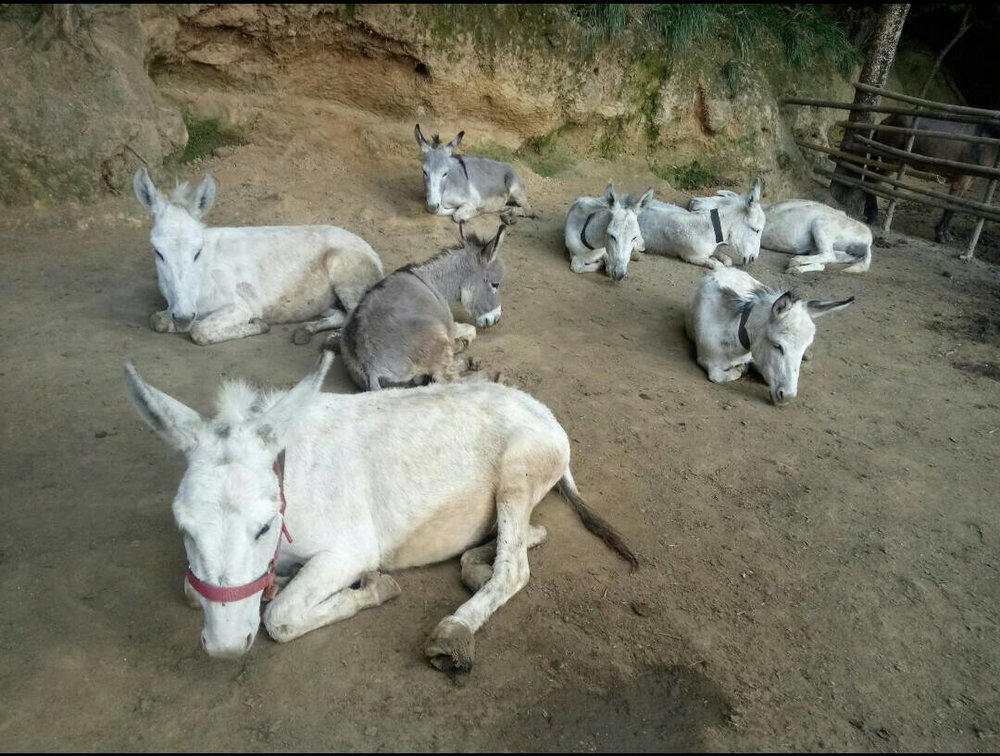 Donkeys resting Jan 2018.jpg