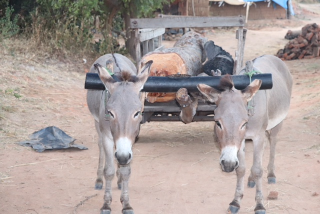 Inhumane yoke cart set up that causes great pain and suffering to working donkeys.
