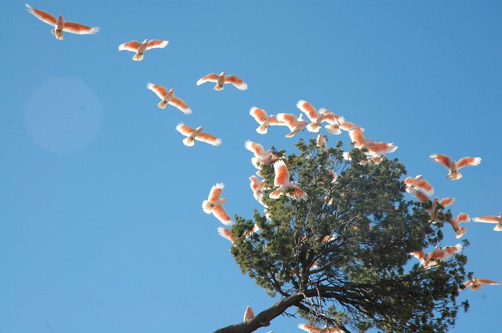 Pink cockatoos mungo.jpg