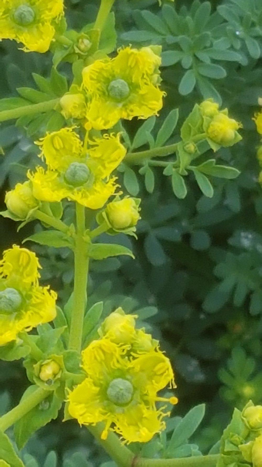 Country herbals 4.jpg