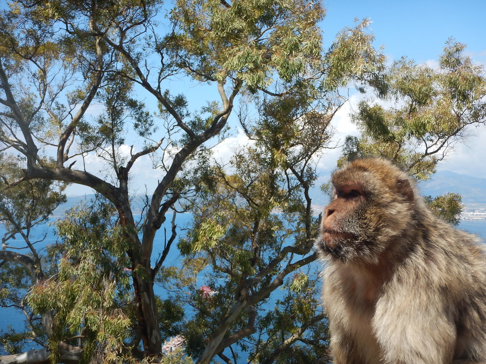 there are about 200 macaques on Gibraltar. They are fed each morning by park staff and do not bother the visitors. In fact it's probably the visitors that bother then. This one was resting by the ubiquitous eucalypt.