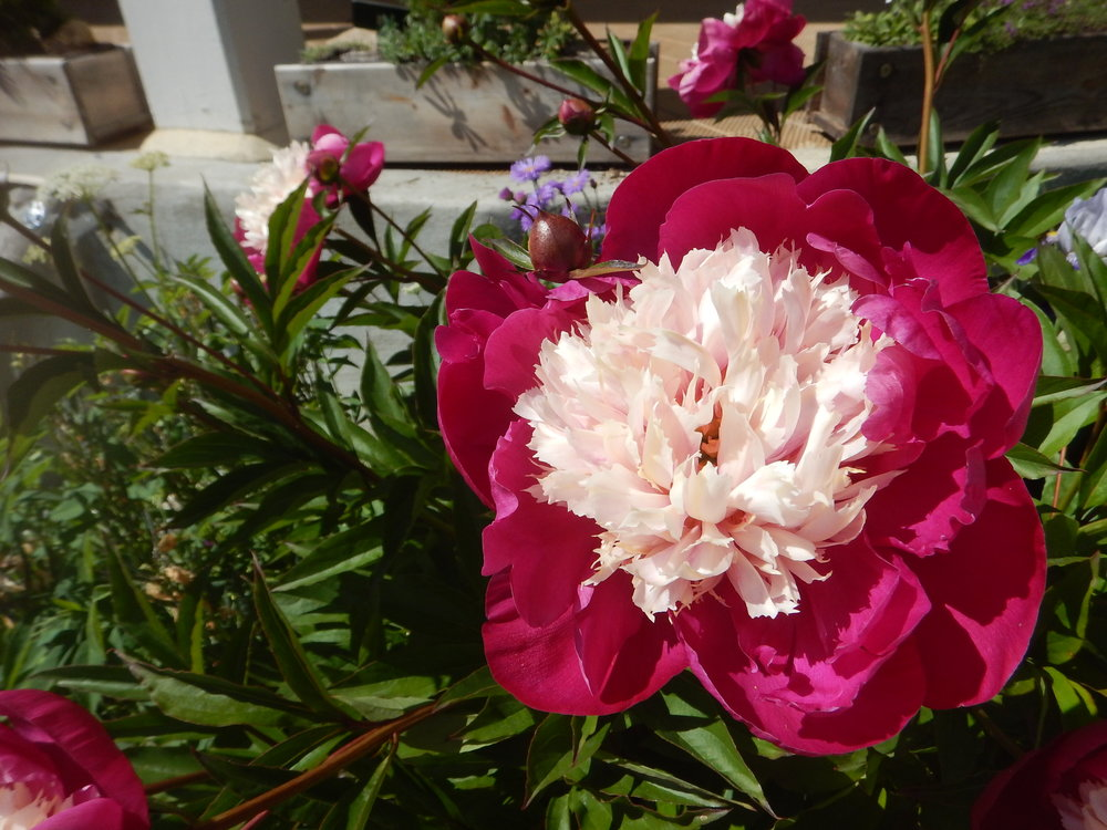 peonies and poppies are so huge!! Bigger than a handspan.