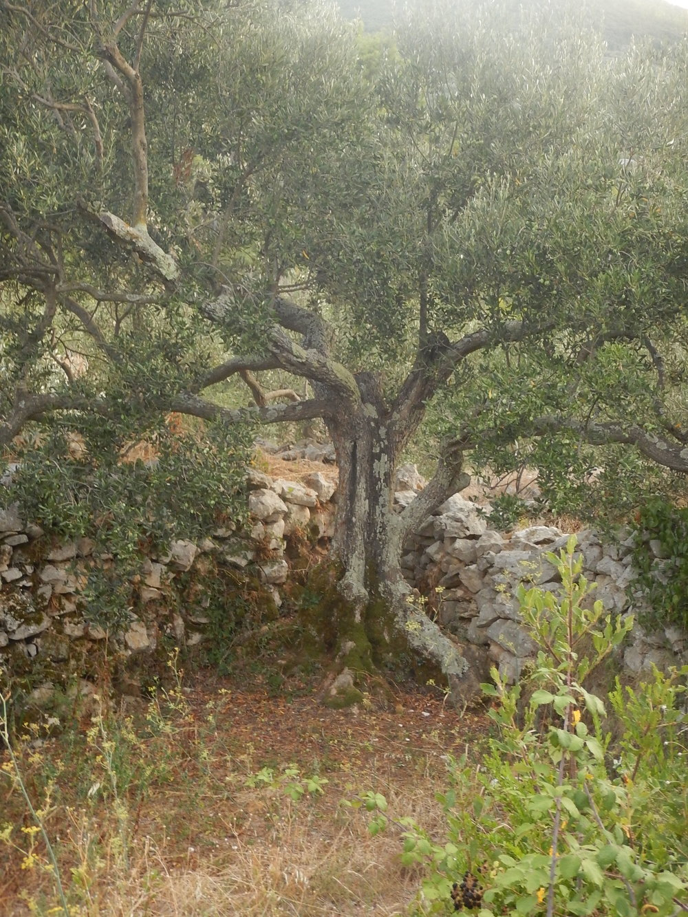 And olive tree