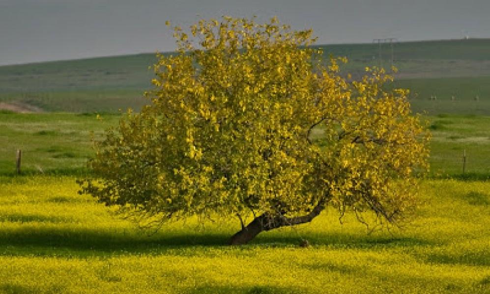 MustardTree.jpg