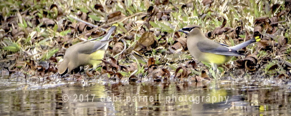 Copy of Copy of Cedar Waxwing Duo