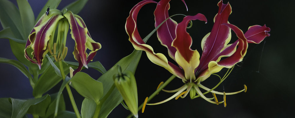 Copy of Copy of Gloriosa Lilies