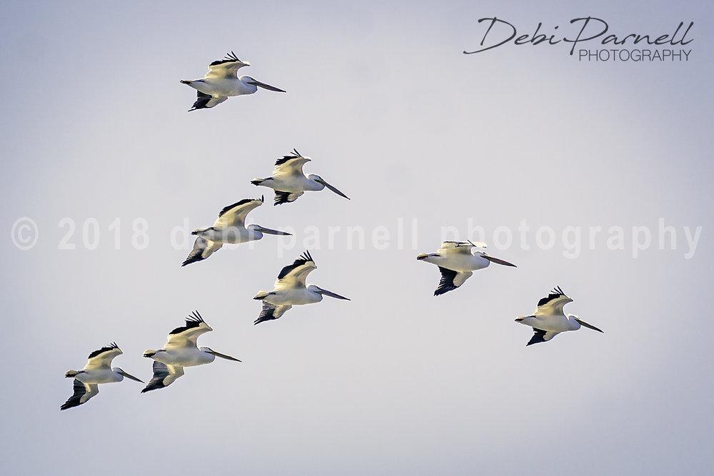 Copy of White Pelicans. BD-009