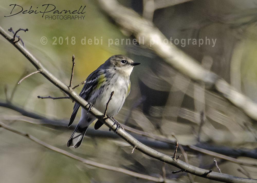 Copy of Yellow-Rumped Warbler BD-010