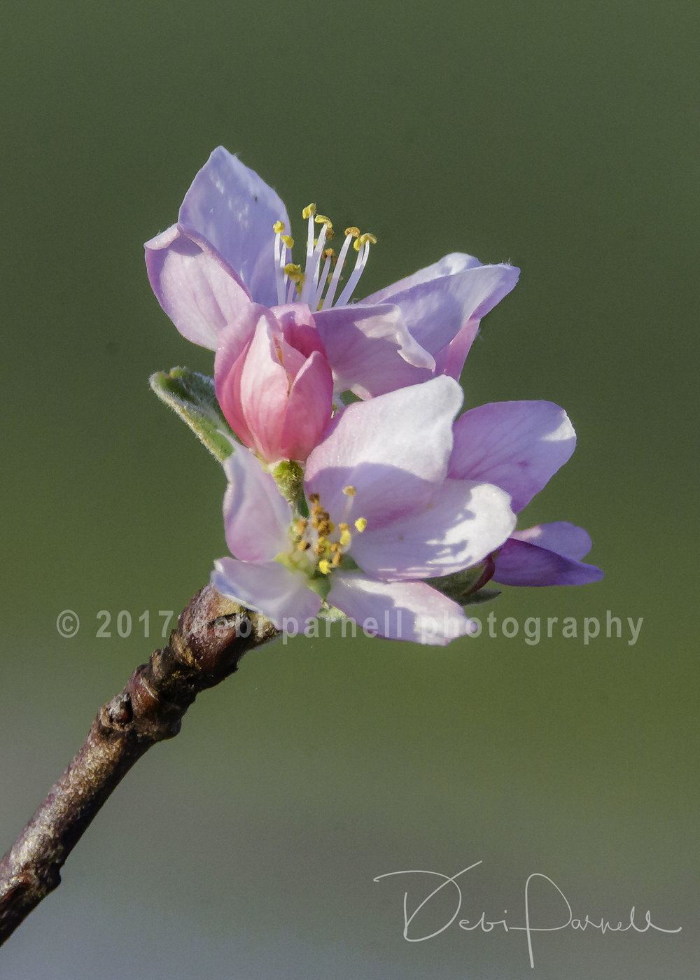 Anna Apple Blossom FL-006