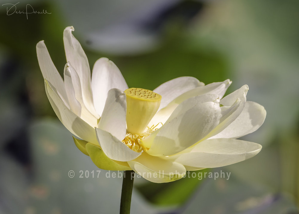 Lovely Lotus Lily FL-008