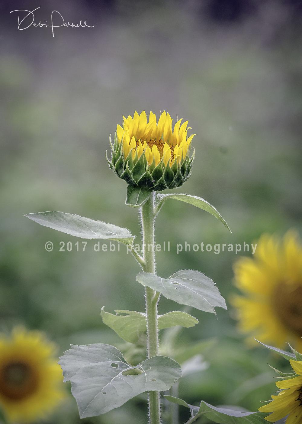 Opening Sunflower WEB.jpg