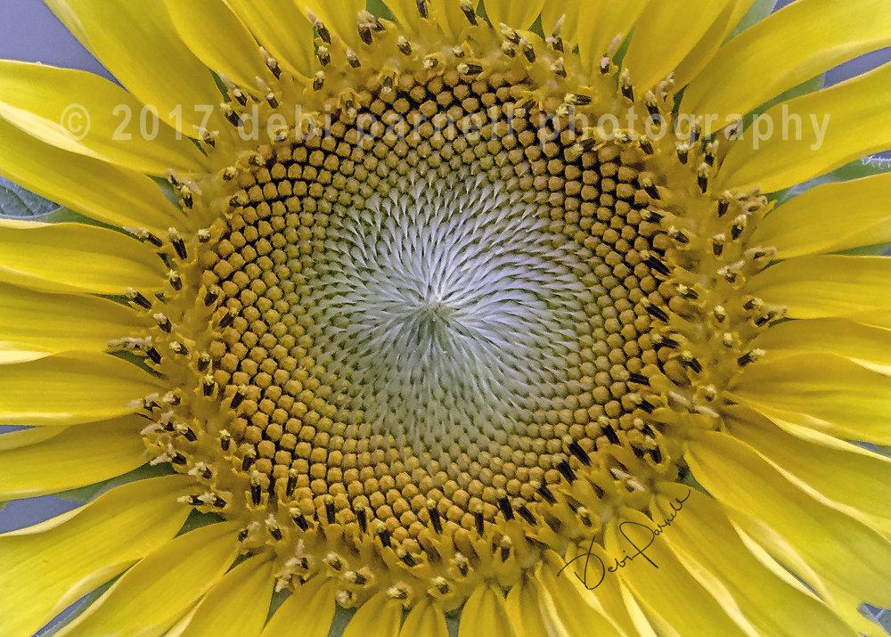 Sunflower Center FL-004