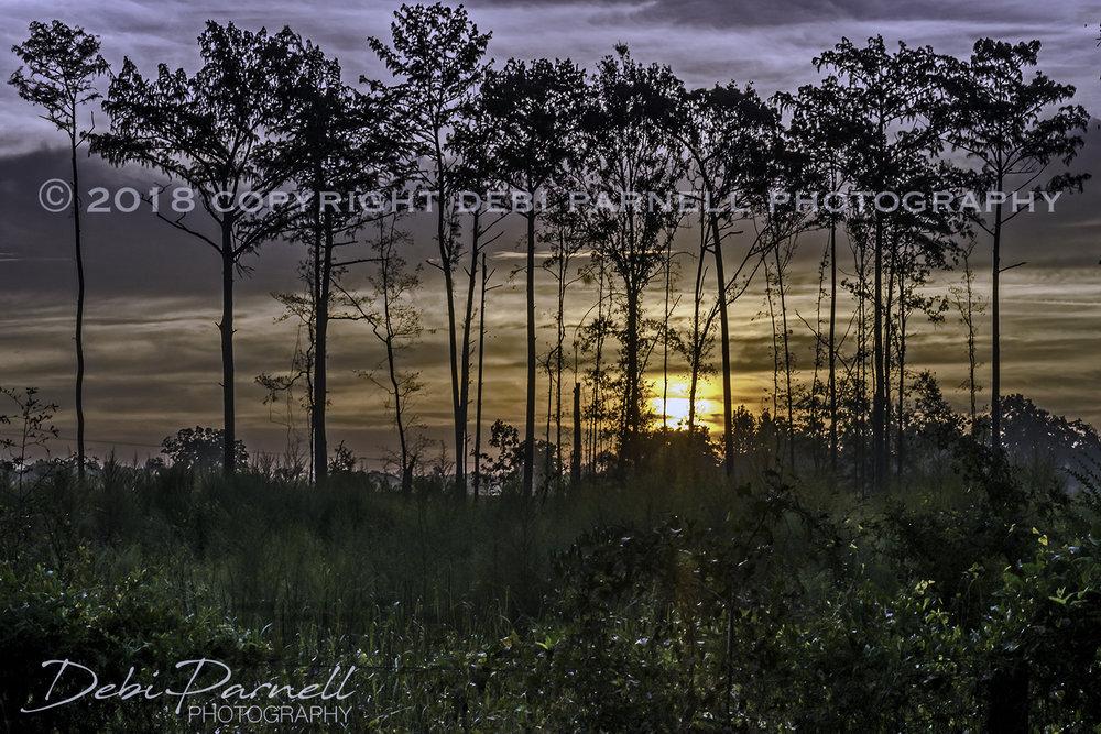 Pine Sunrise LS-026