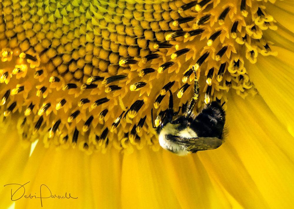Sunflower Bee fr download.jpg