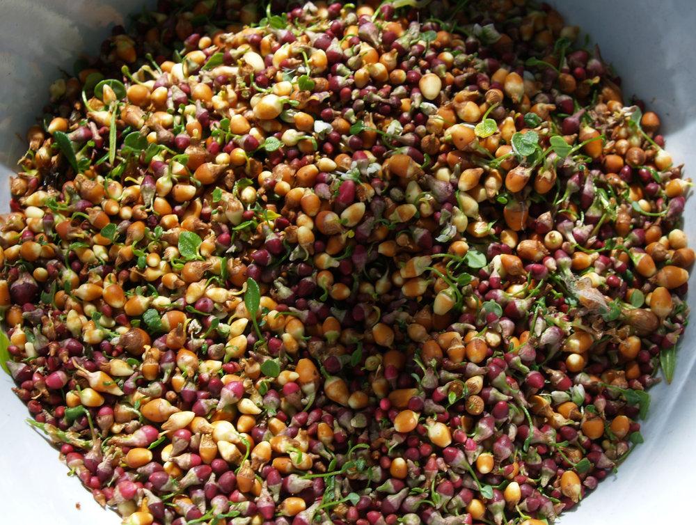 Fig1_57a_Harerug_harvest_P7203846.jpg