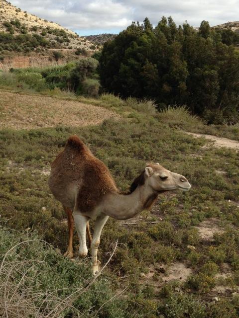 Mohammed land camel.jpeg