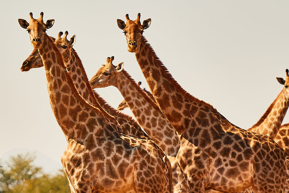 The Moremi gamedrive; Let the wildlife come closer to you!