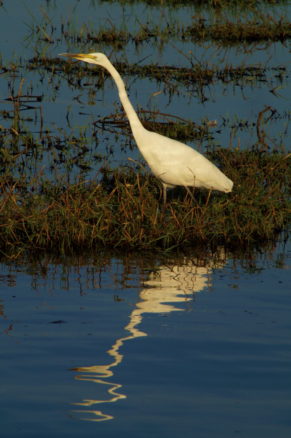 Great White Egret in Zambezi National Park
