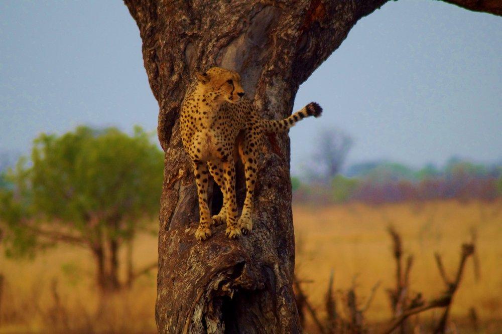 Male Cheetah in Hwange Natioanl Park