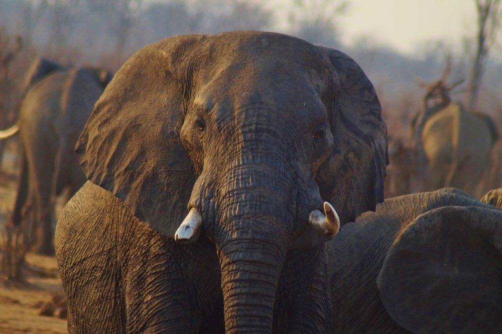 Elephant Bull in Hwange Natioanl Park