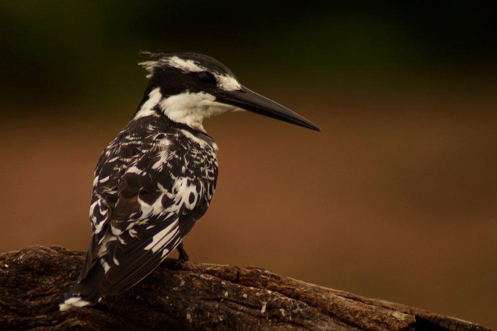 Pied Kingfisher; Zambezi National Park