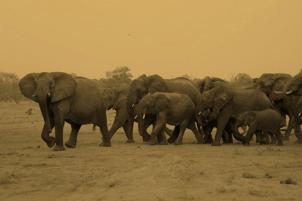 Breeding herd of Elephant in Hwange National Park