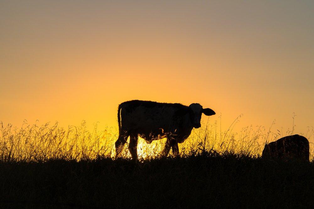 STOCK_cow.jpg