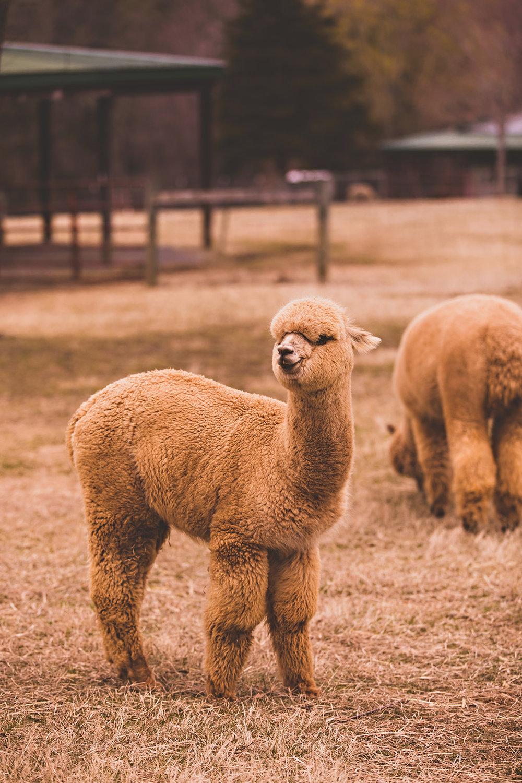 alpacas-89.jpg