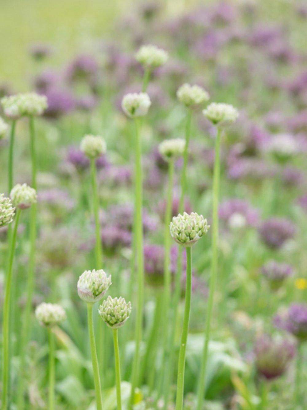 Allium row.jpg