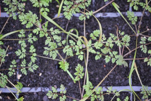Autumn sown Orlaya seedlings