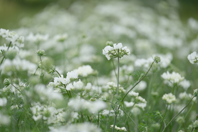 Orlaya beds in full bloom mid June