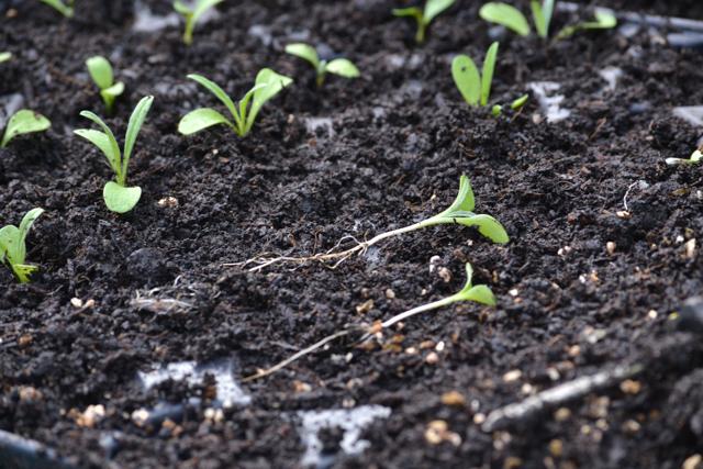 Cornflower seedlings.jpg