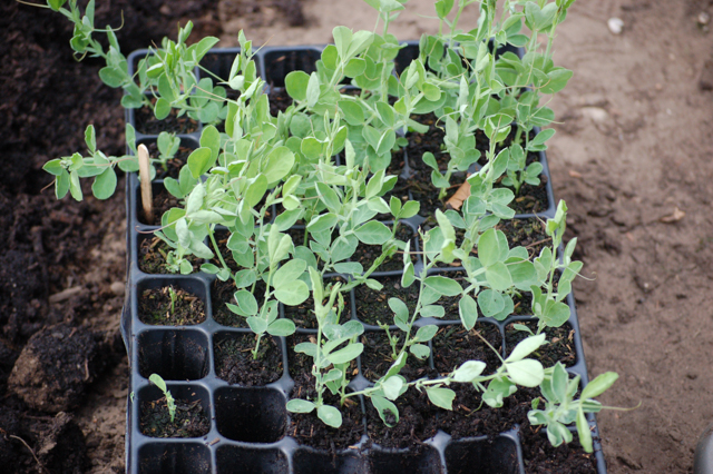 Tray of overwintered sweet peas about to be planted out