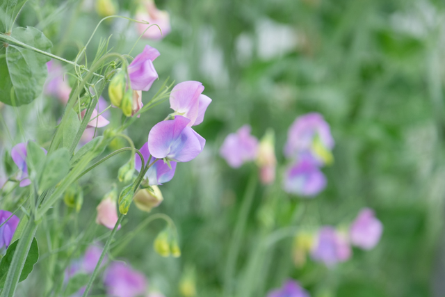 Lots of flowers over a long period make sweet peas a valuable crop despite the work needed in feeding tie ing in and picking them