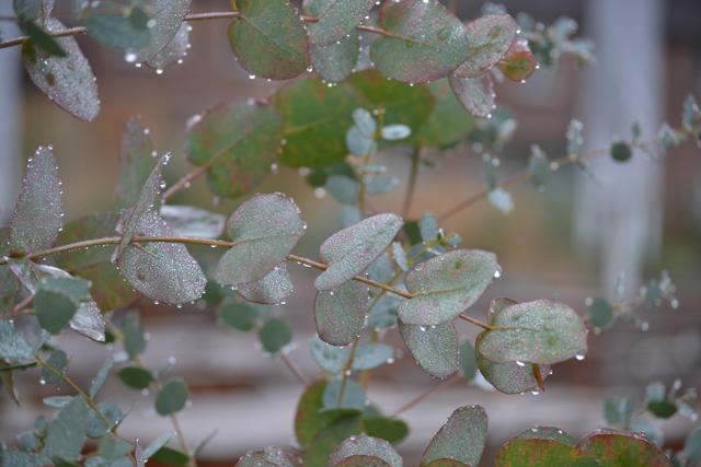 Winter Eucalyptus foliage