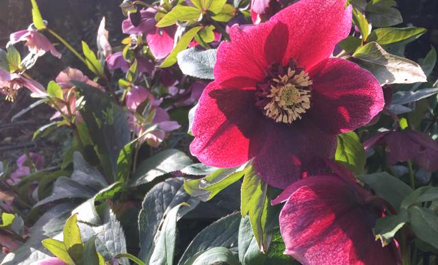 garden hellebore-2.jpg