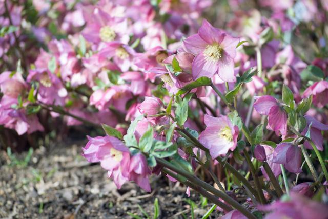 Hellebore flowers early March.jpg