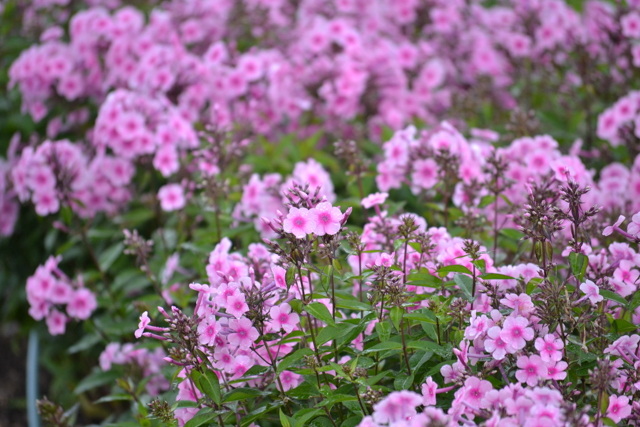 phlox pink in bed.jpg