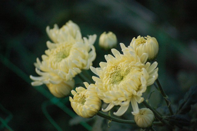 late cream chrysanth.jpg