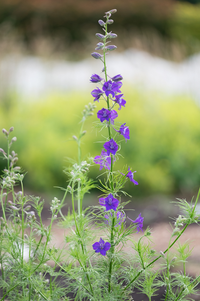 Blue larkspur.jpg