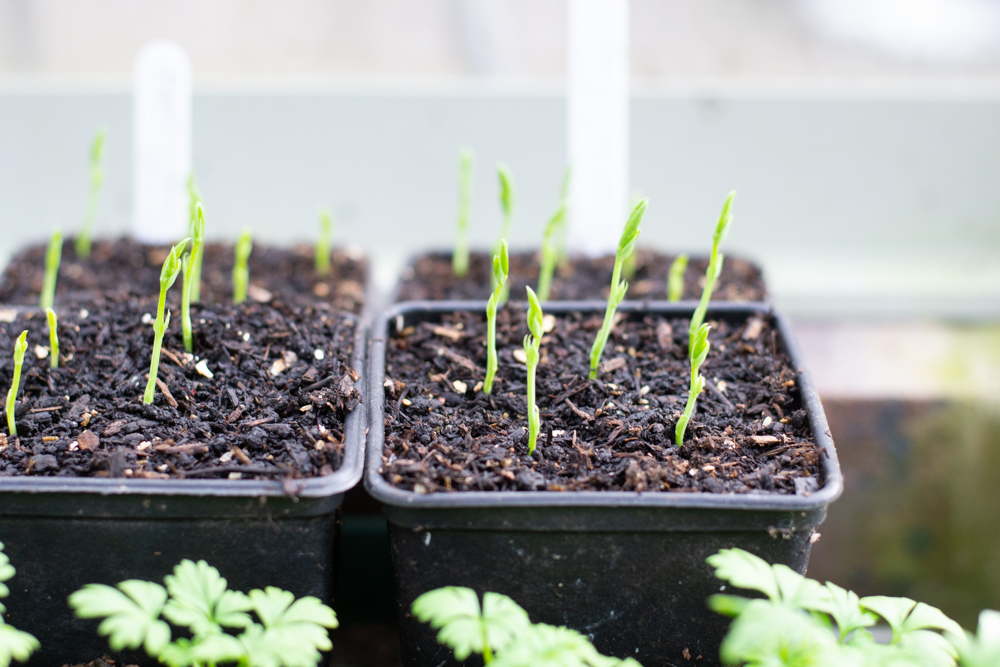 Healthy Sweet pea seedlings
