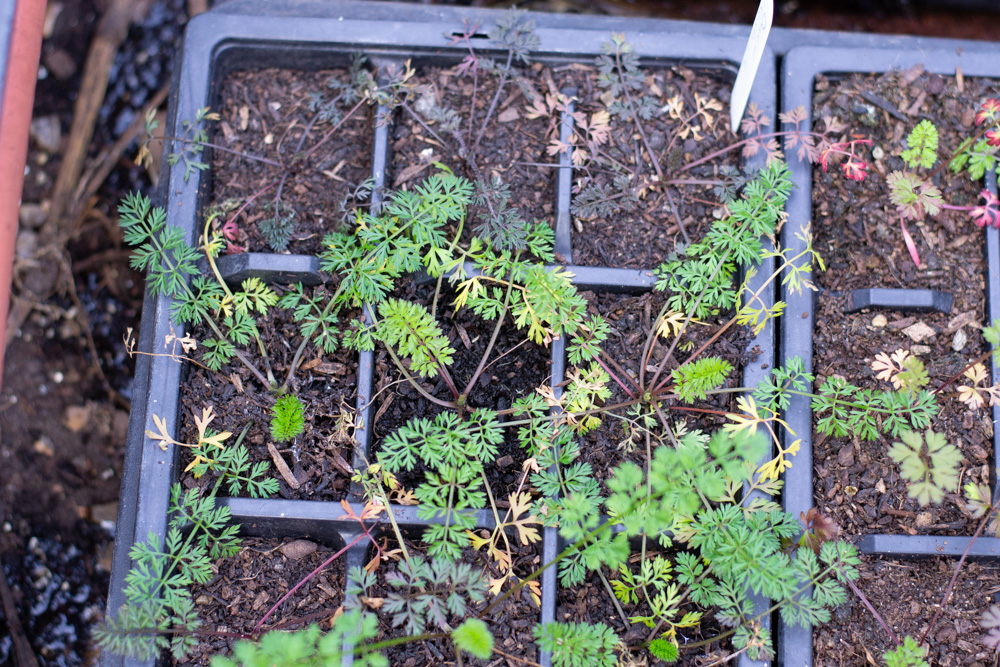 Underwatered Daucus, those top 3 plants just won't make it!