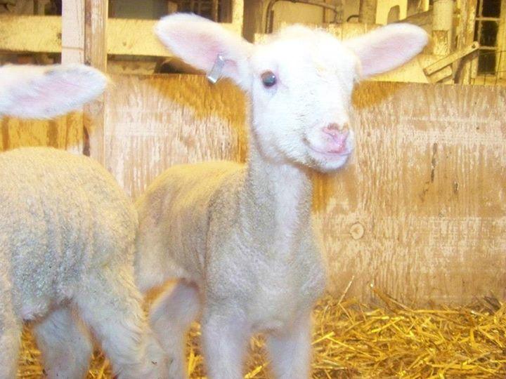 lamb 4-1.jpg